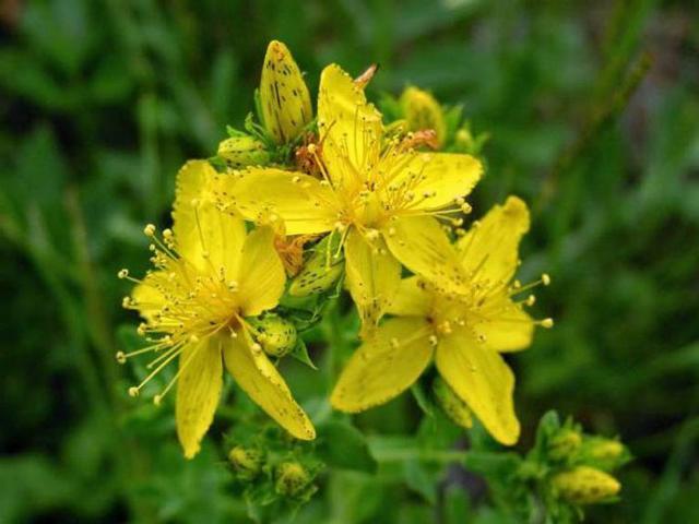 Трава зверобоя: инструкция по применению, свойства и цена